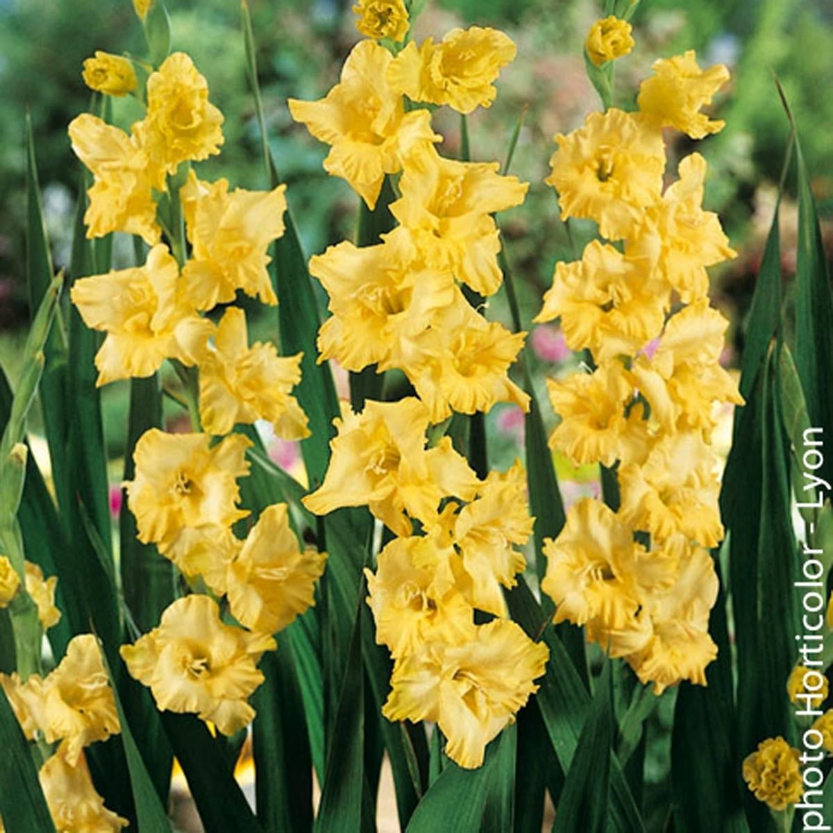 Glaïeul jaune d'or brillant - Gladiolus Morning Gold