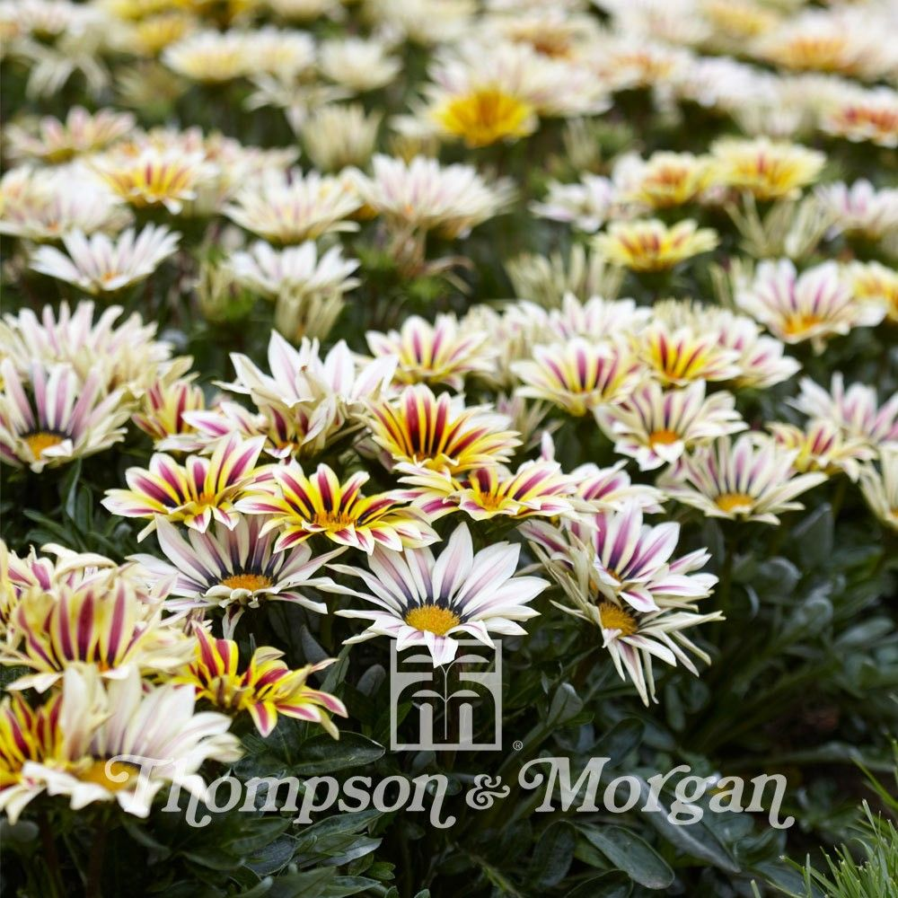 Gazania Big Kiss White Flame F1 Hybrid