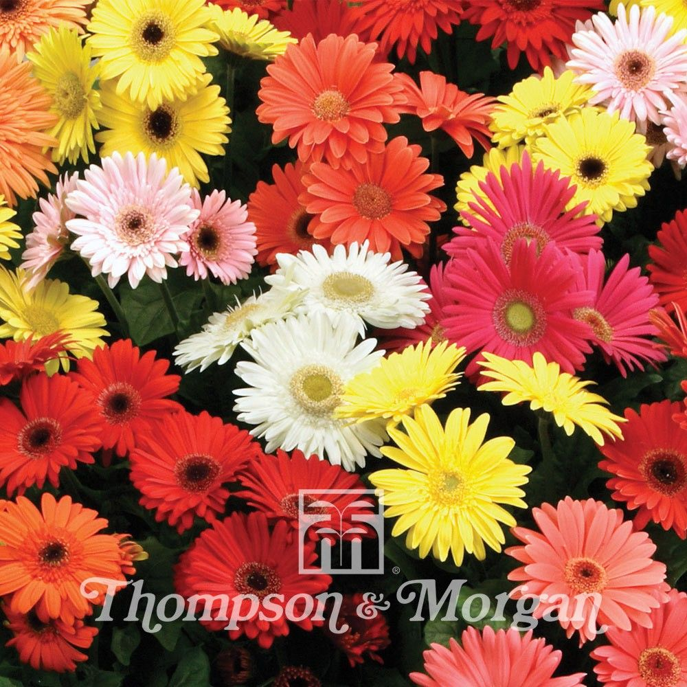 Gerbera Jamesonii T&M Mixed F2 Hybrid