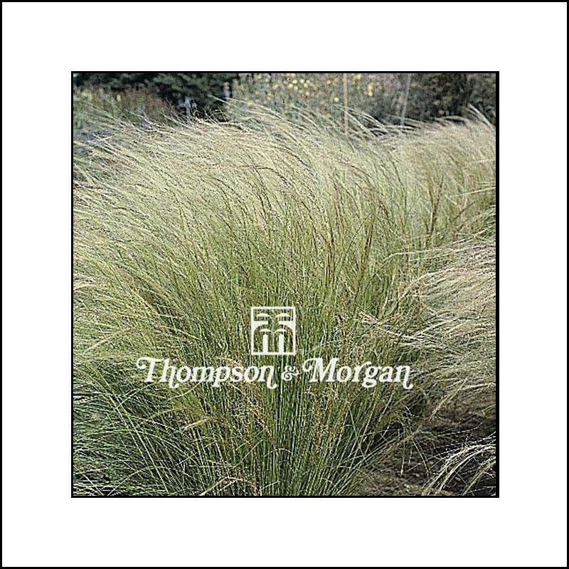 Graines de Stipa tenuissima Angel Hair - Stipe Cheveux d'Ange