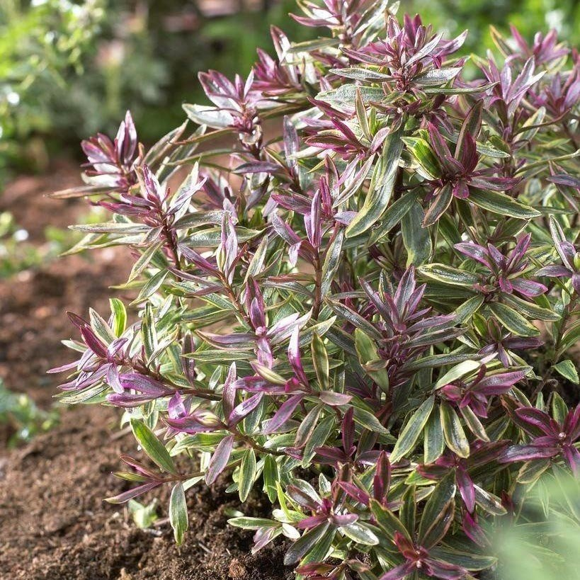 Hebe Purple Shamrock - Véronique arbustive