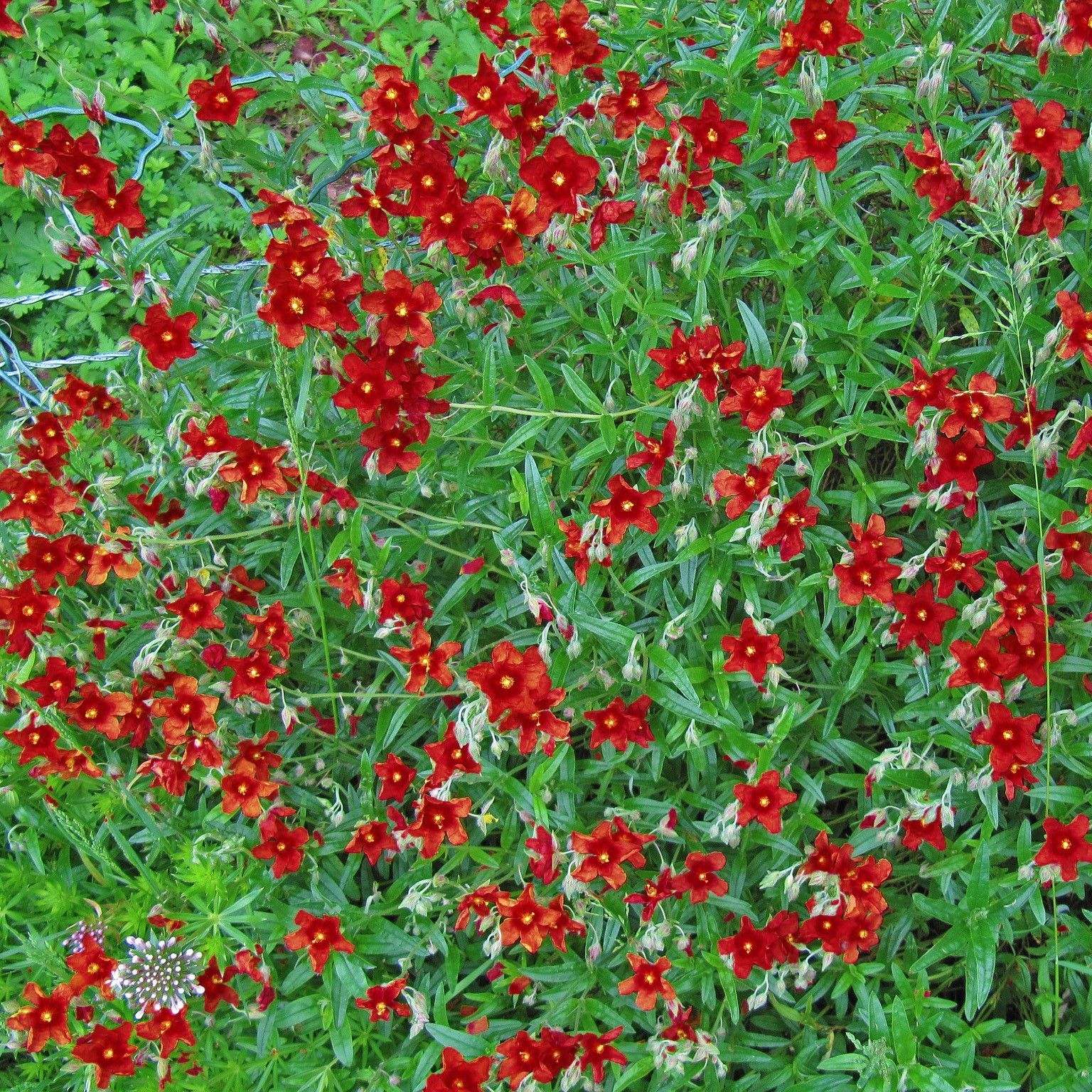 Hélianthème, Helianthemum Tomato Red