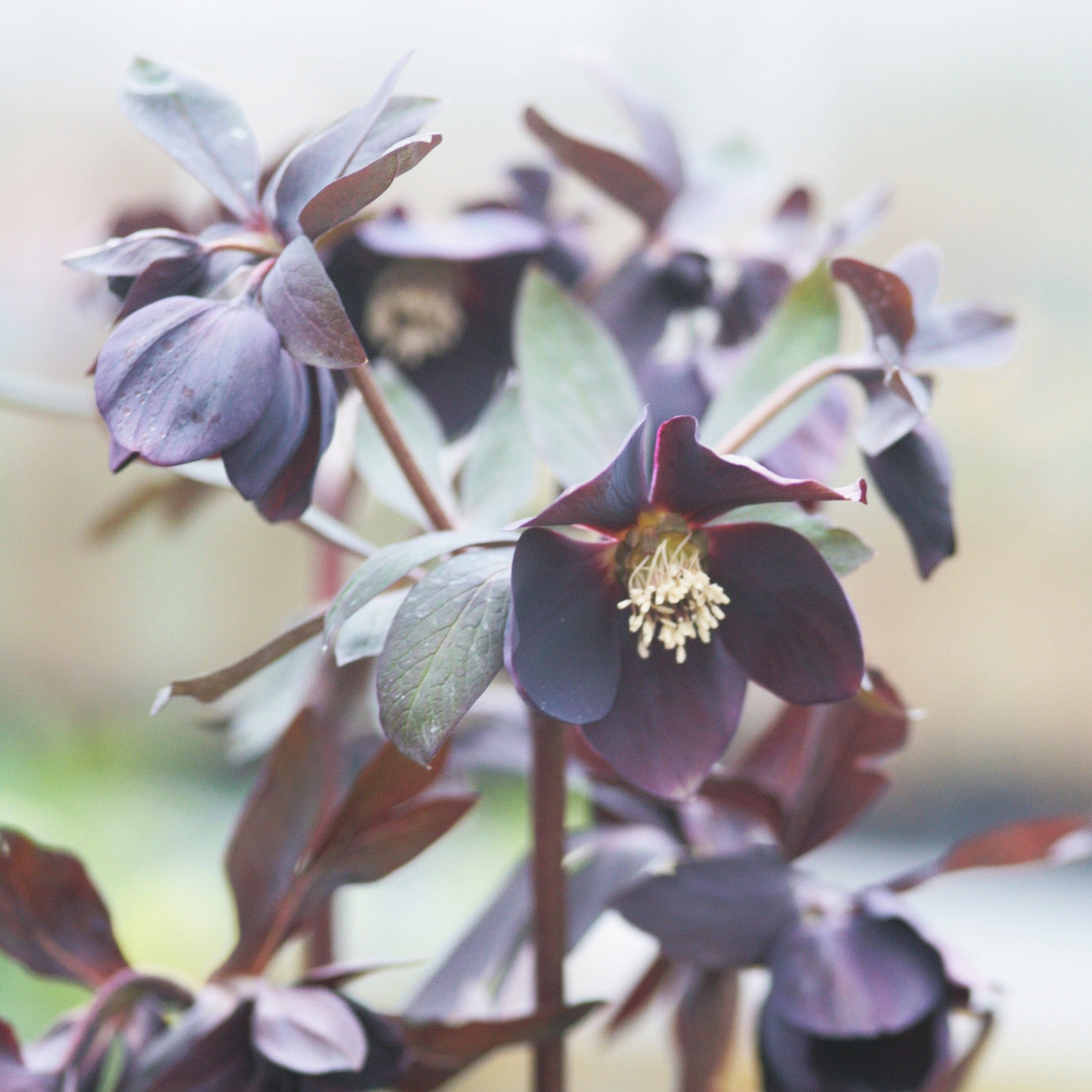 Hellebore d'orient Black Chocolate
