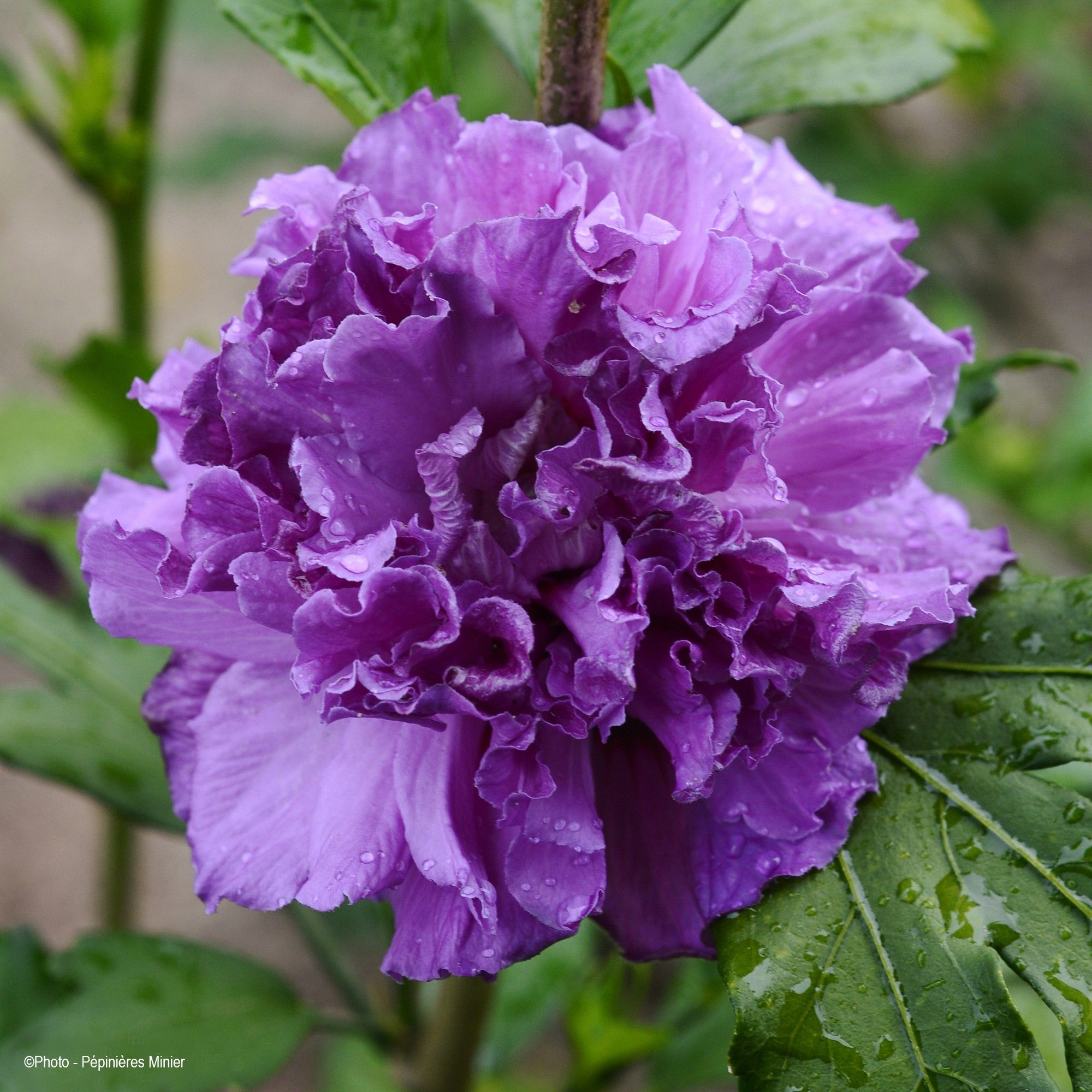Hibiscus French Cabaret Purple - Althéa double violette