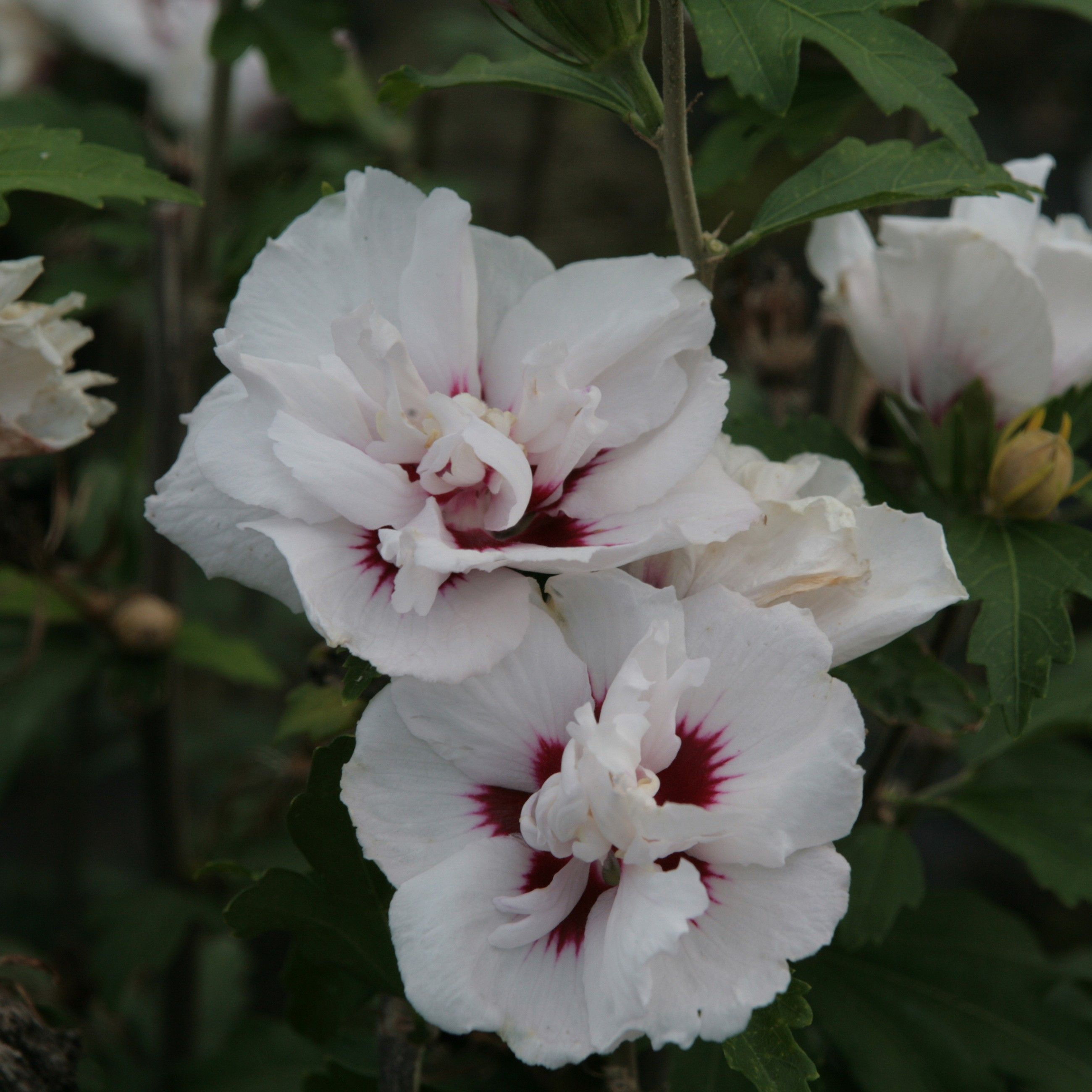 Hibiscus syriacus Lady Stanley - Althéa semi-double bicolore