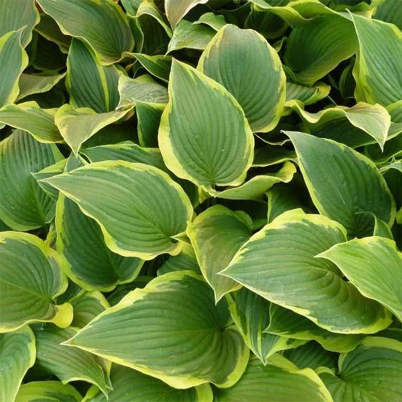 Hosta montana Yellow River