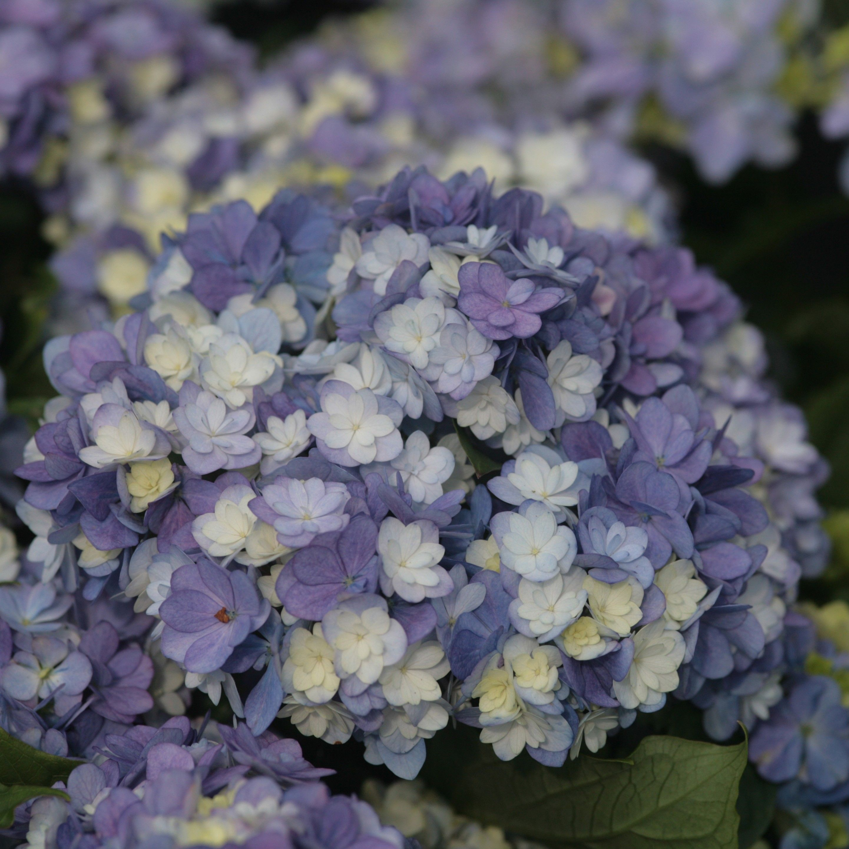 Hortensia - Hydrangea macrophylla You and Me Tea Time Together