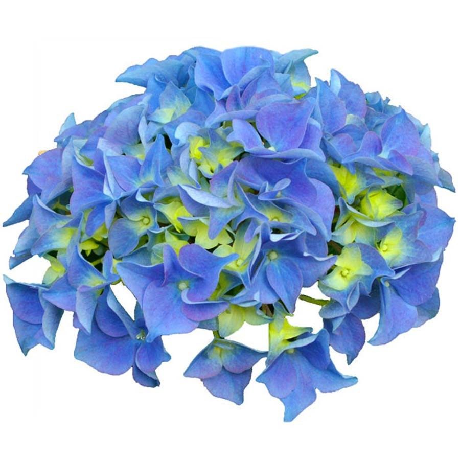 Hortensia - Hydrangea macrophylla Early Blue