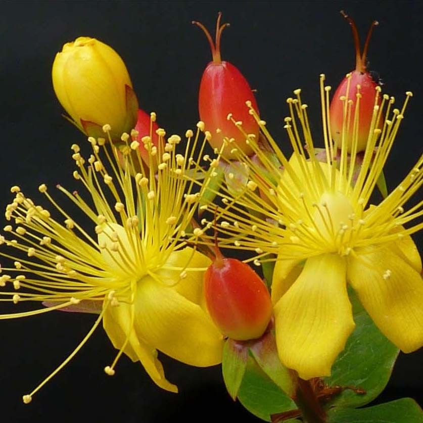 Hypericum inodorum Magical Red Flame - Millepertuis