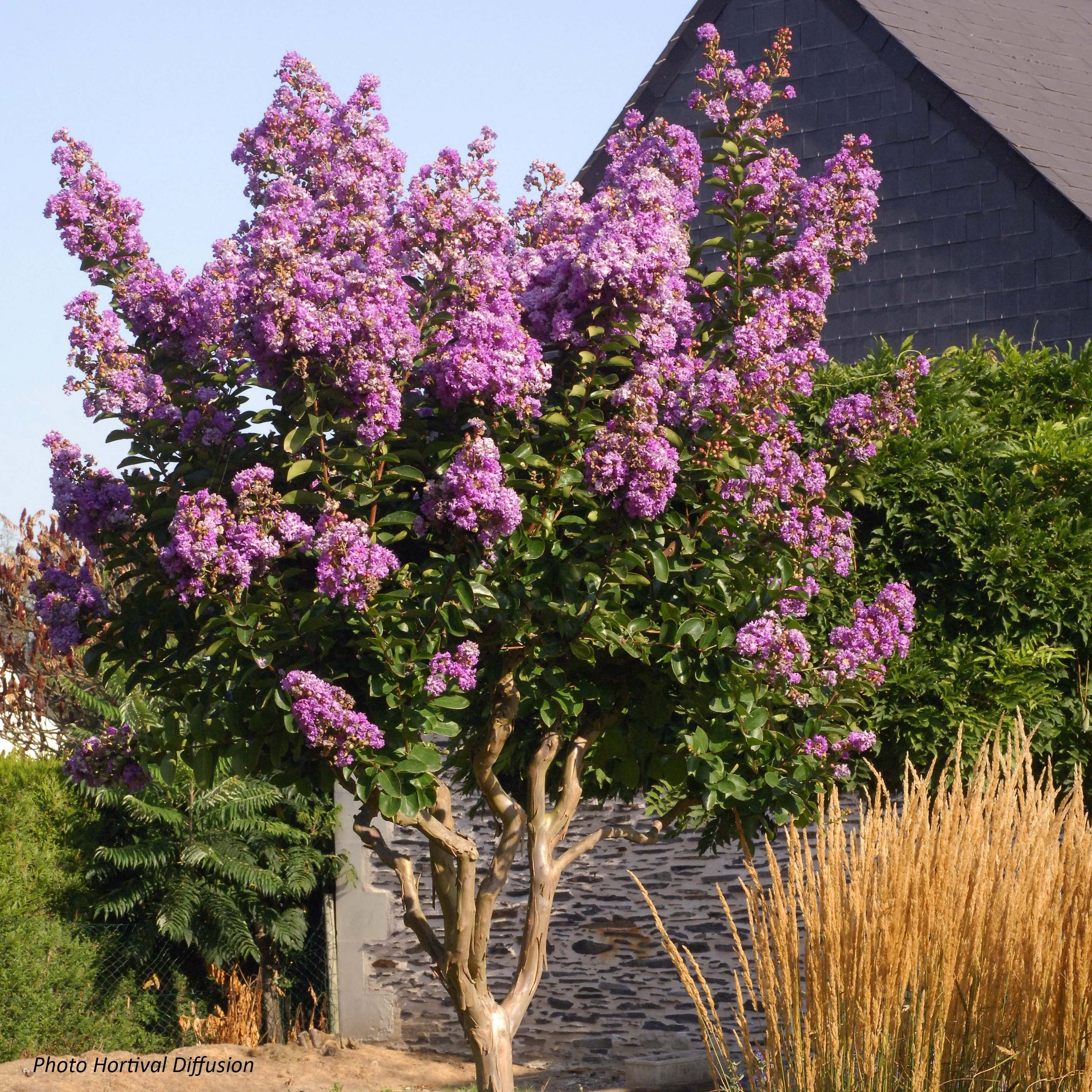 Lagerstroemia Lilac Grand Sud - Lilas des Indes.