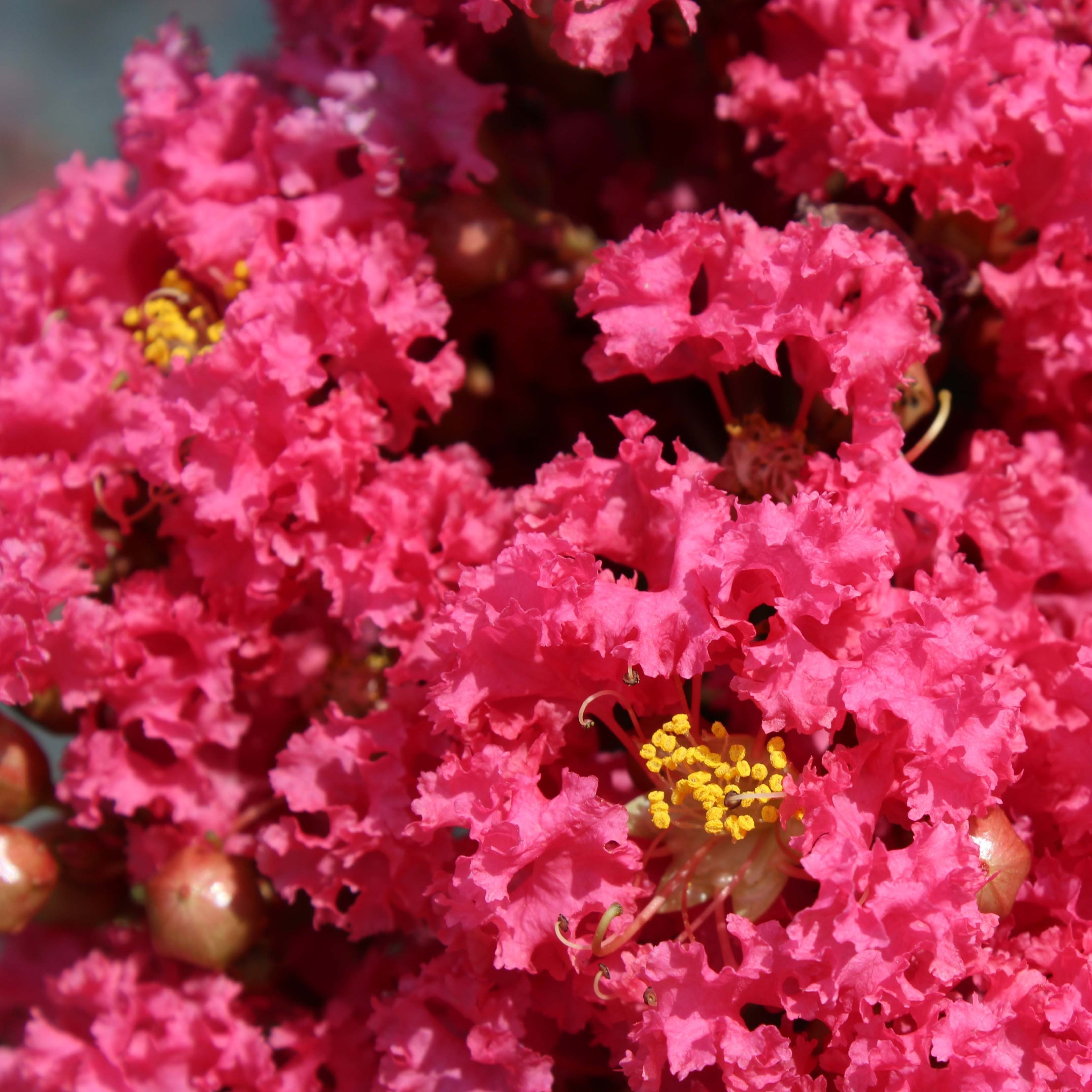 Lagerstroemia indica Grand Cru - Lilas des Indes