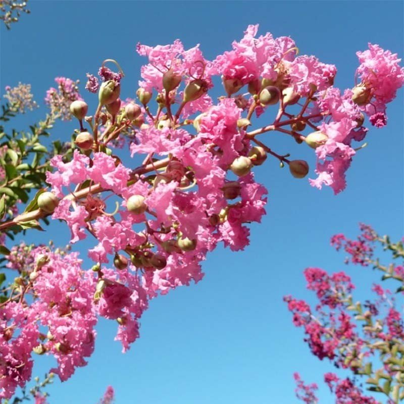 Lagerstroemia indica Monbazillac - Lilas des Indes