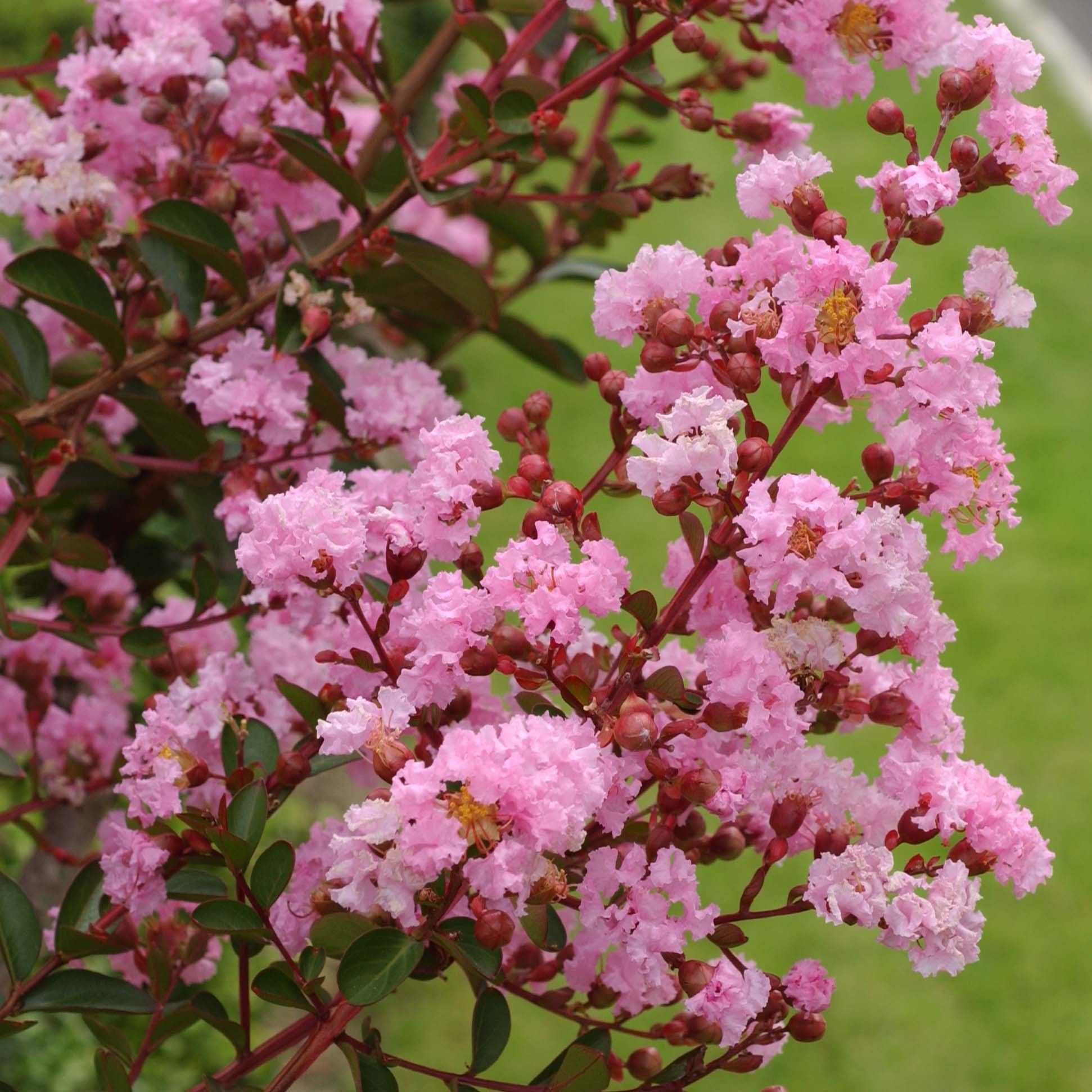 Lagerstroemia indica Pink Grand Sud - Lilas des Indes