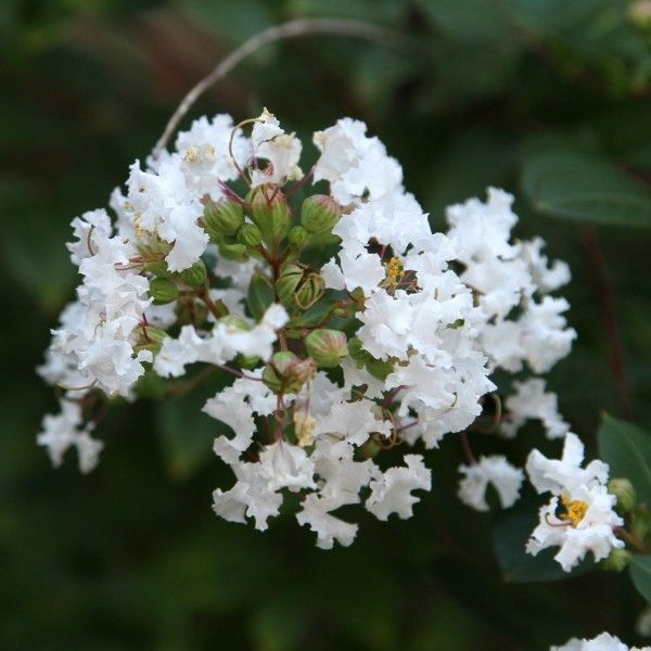 Lagerstroemia indica Pixie White - Lilas des Indes