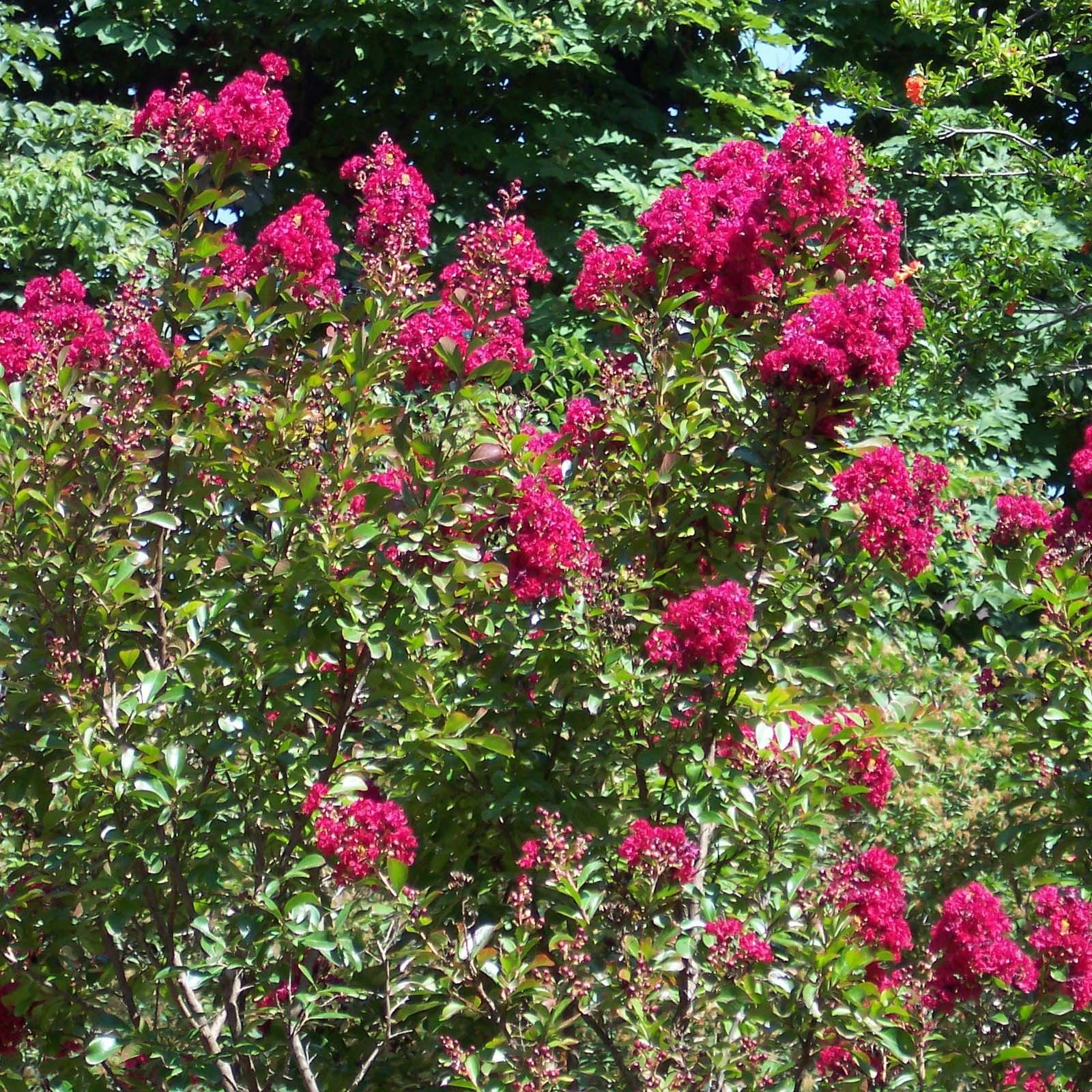 Lagerstroemia indica Red imperator - Lilas des Indes