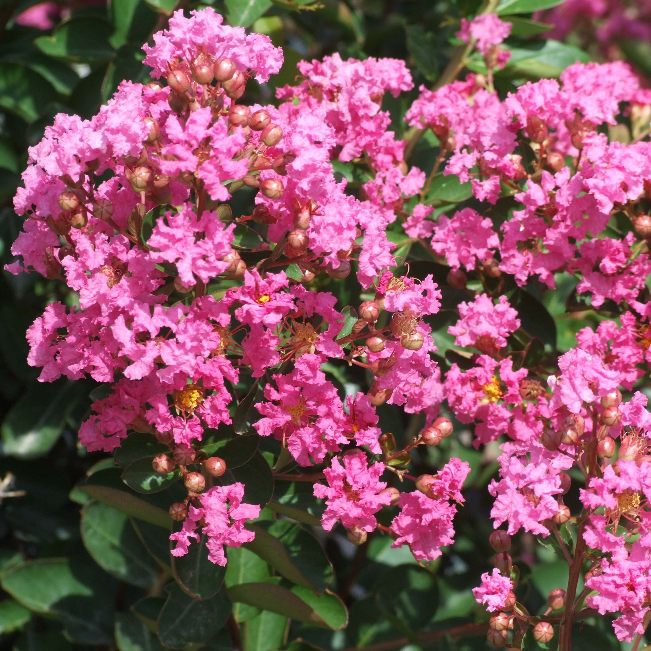 Lagerstroemia indica Rose Indien - Lilas des Indes