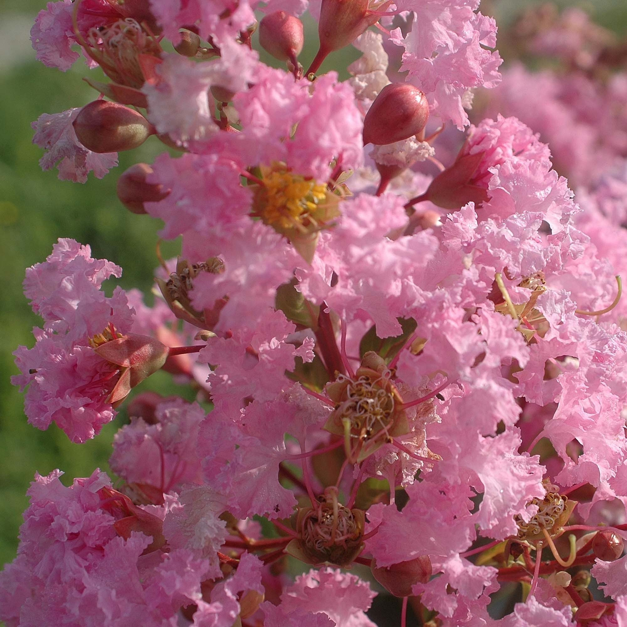 Lagerstroemia indica Rose Thé - Lilas des Indes