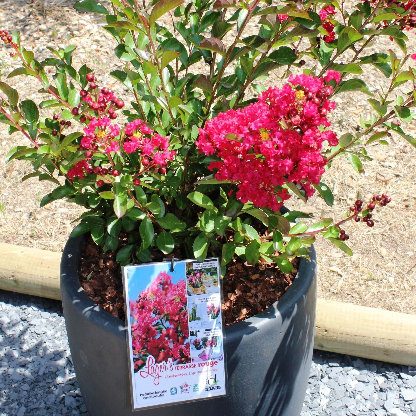 Lagerstroemia indica Terrasse Rouge - Lilas des Indes