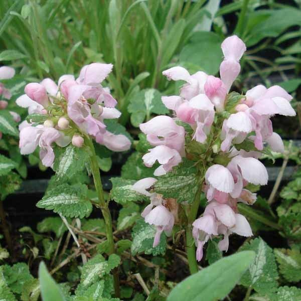 Lamium Shell Pink