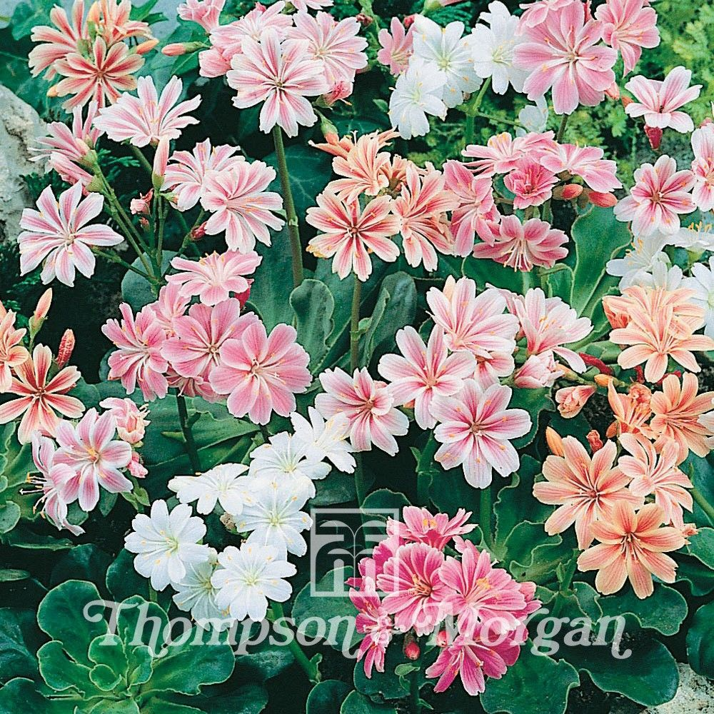 Lewisia Cotyledon Galaxy Mixed