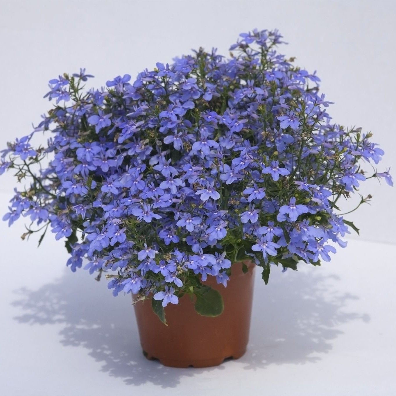 Lobelia Hot Water Blue Lobélie