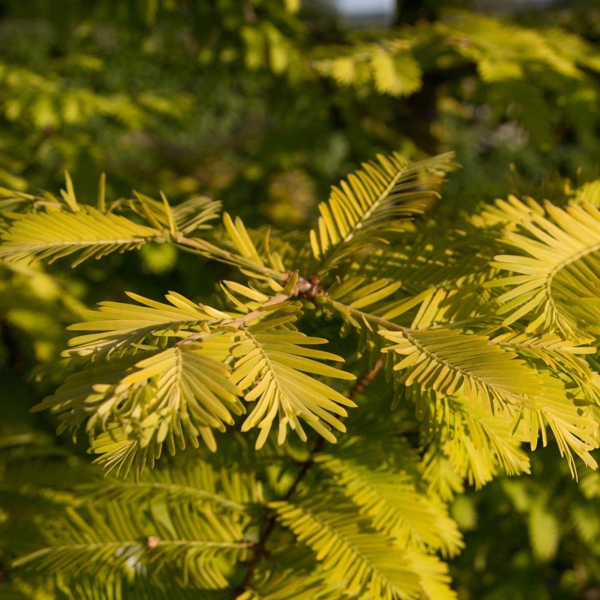 Metasequoia glyptostroboides Gold Rush