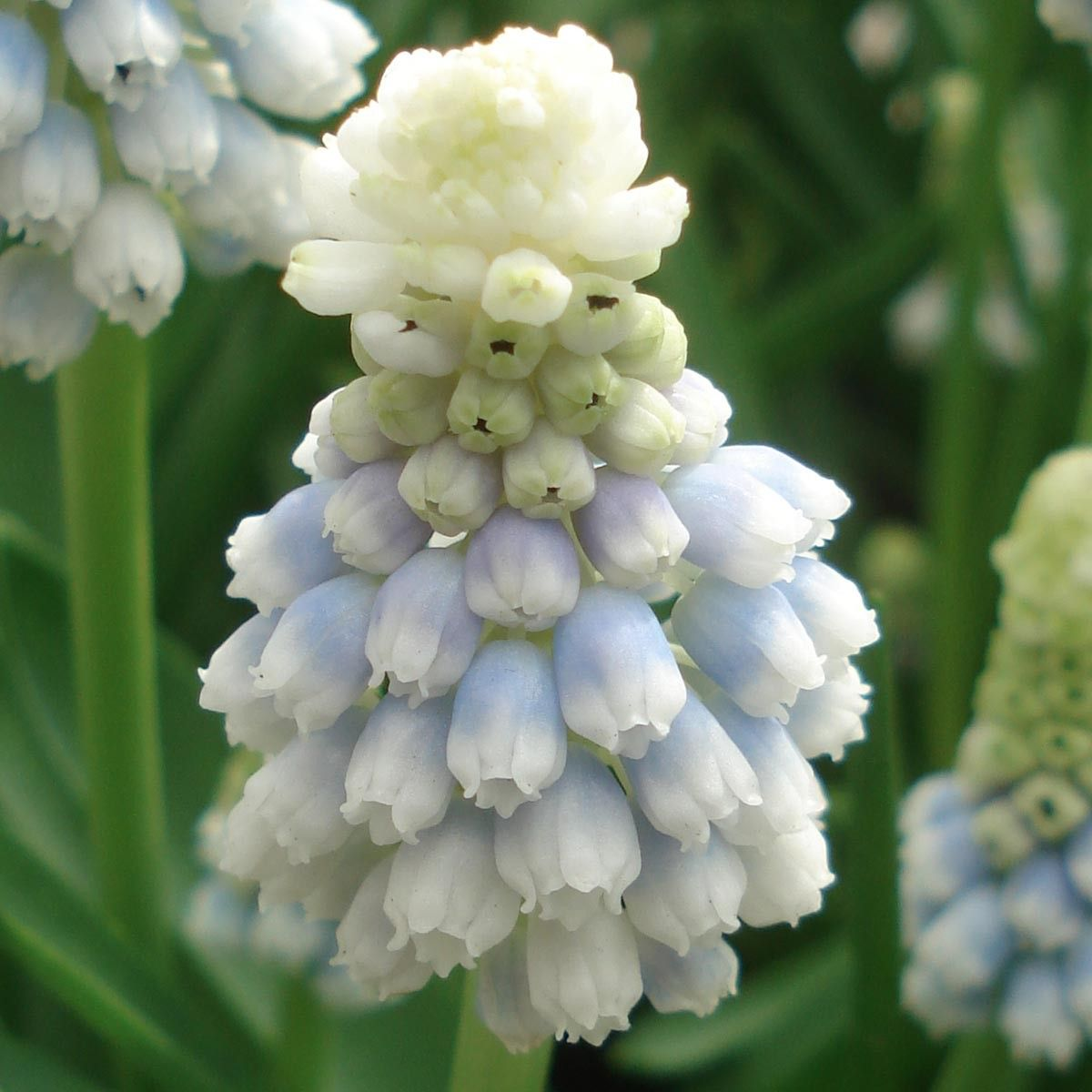 Muscari Mountain Lady