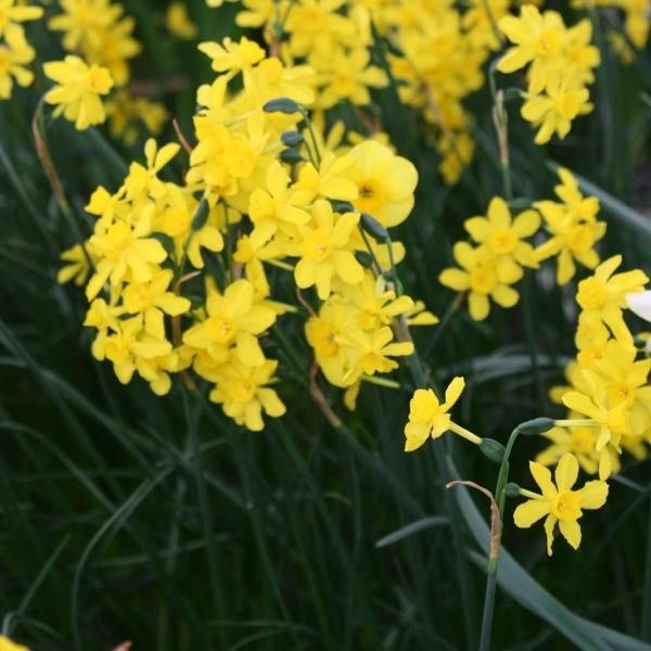 Narcisse Twinkling Yellow
