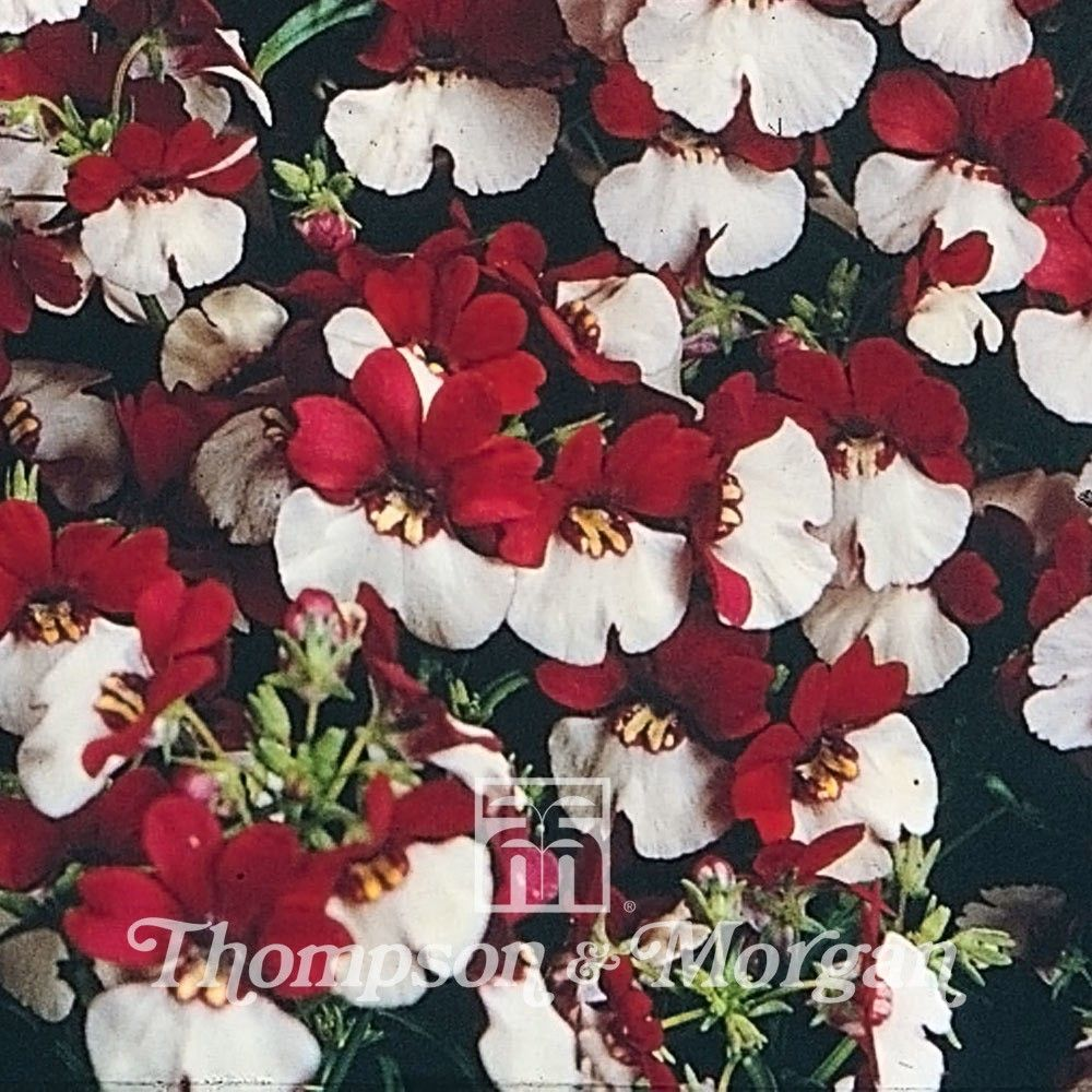 Nemesia Mello Red & White