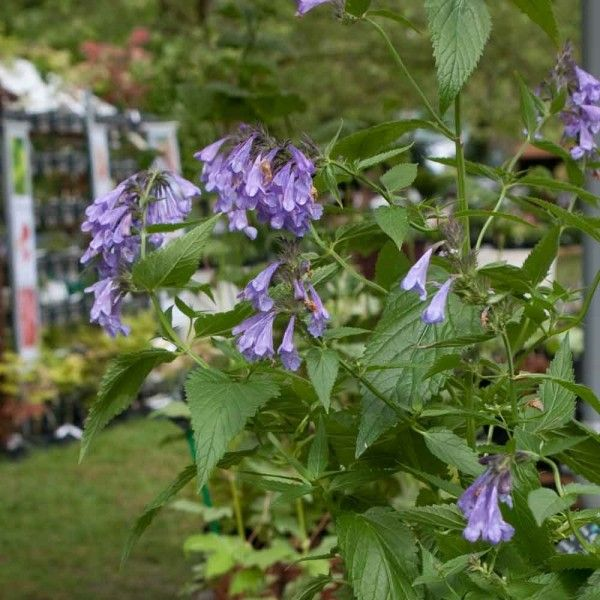 Nepeta subsessilis Laufen - Chataire