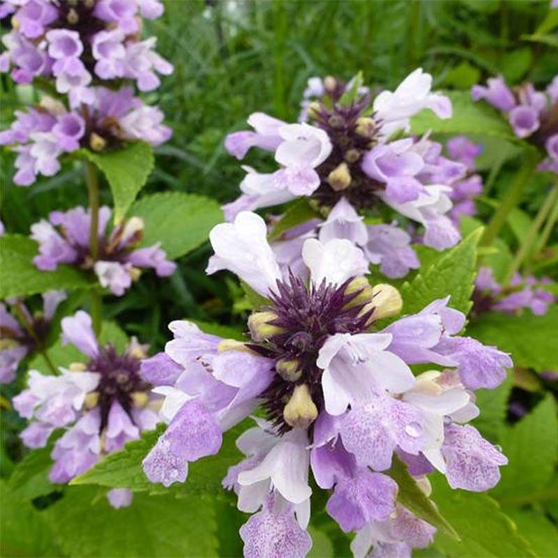 Nepeta subsessilis Sweet Dreams - Chataire subsessile rose
