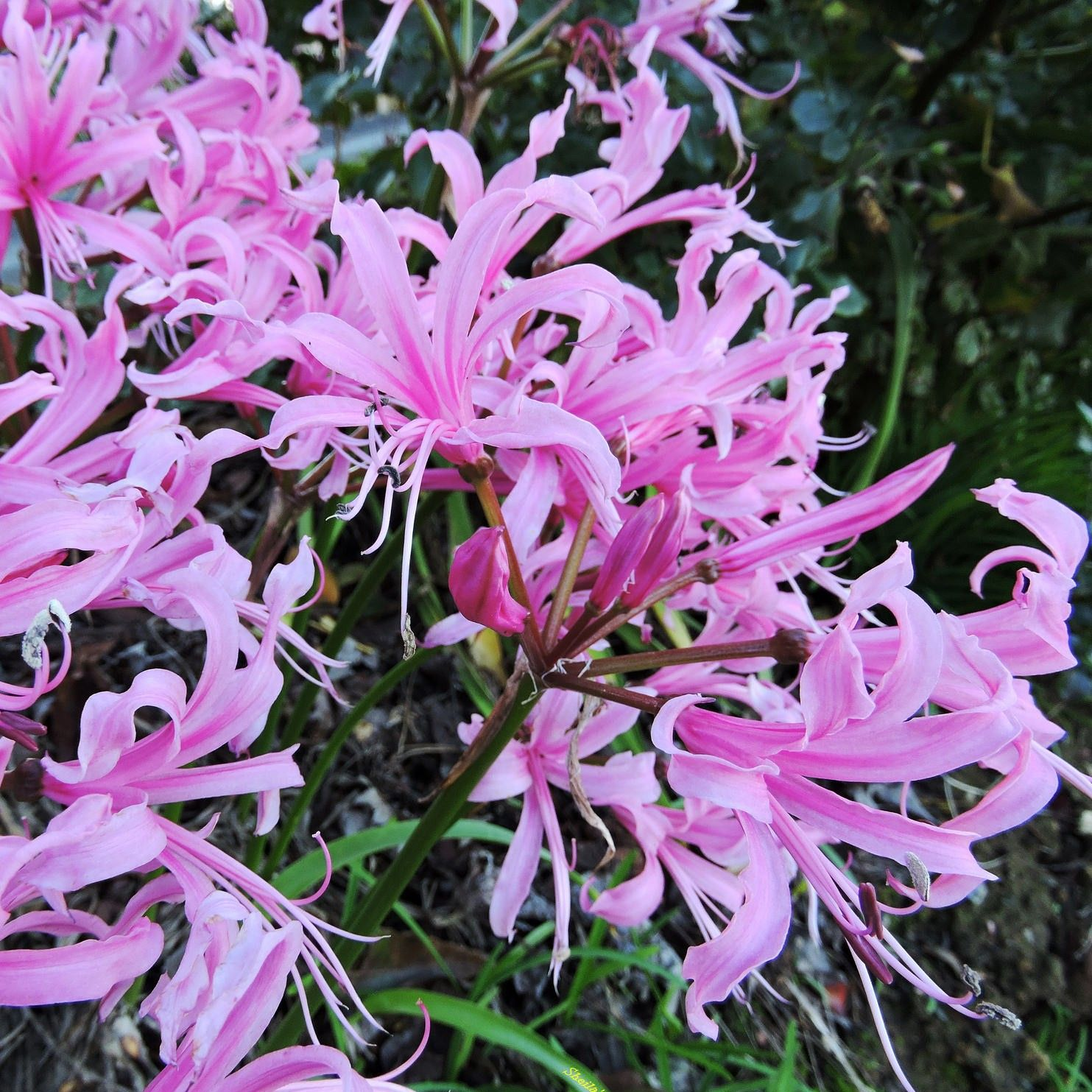 Nerine bowdenii type - Lis de Guernesey