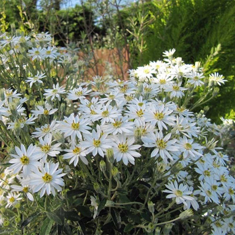 Olearia scilloniensis