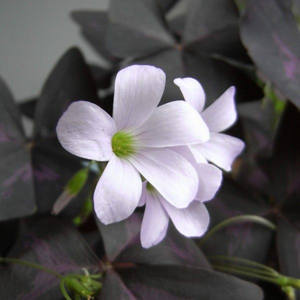 Oxalis triangularis - Trèfle pourpre