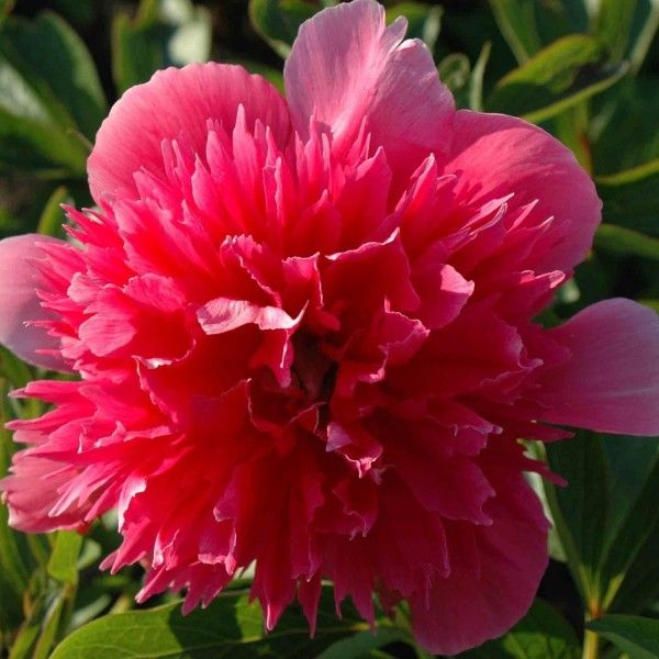 Pivoine officinale Rosea Plena