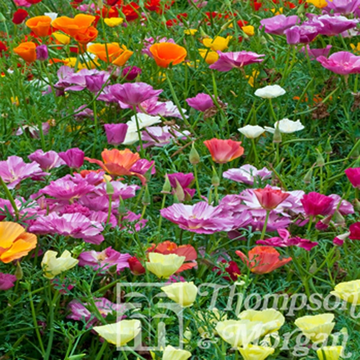 Graines de Pavot de Californie Monarch Mixed - Eschscholzia californica