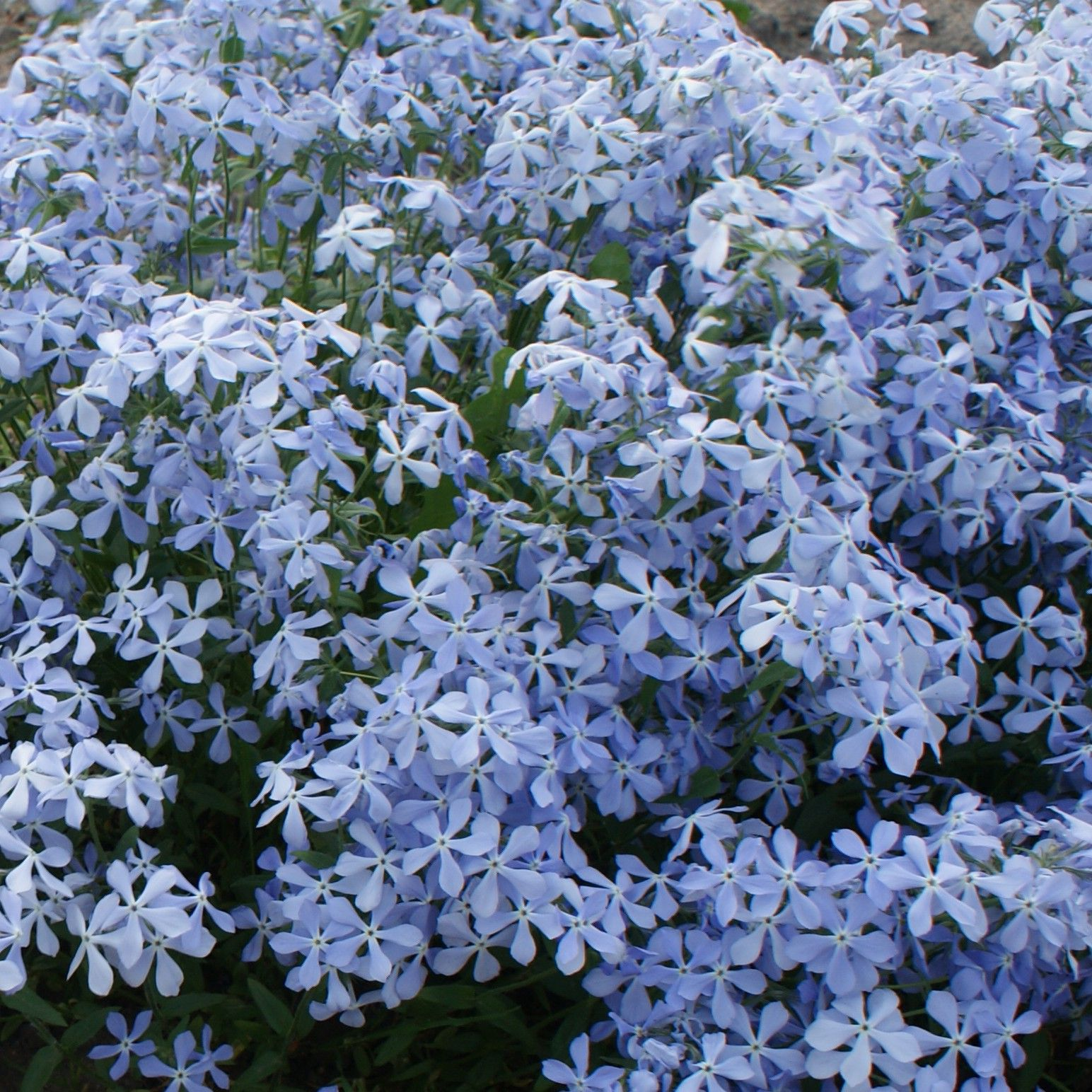 Phlox divaricata Clouds of Perfume - Phlox bleu