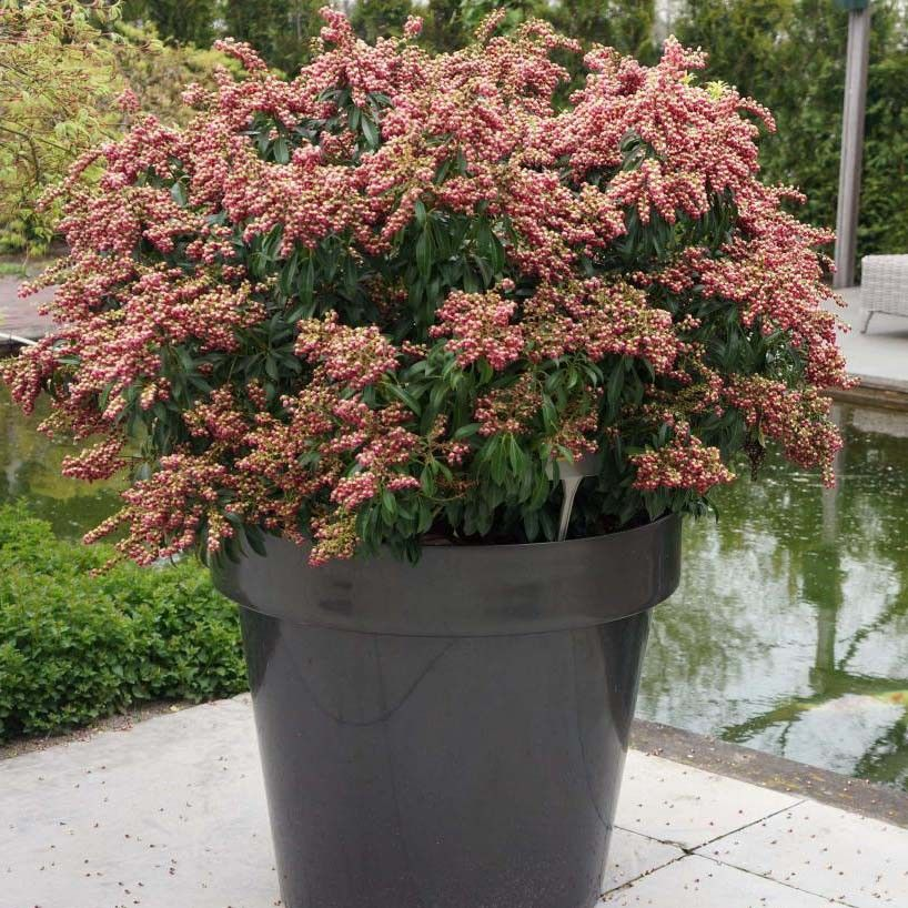 Andromède du Japon - Pieris japonica Passion en pot de 2/3L