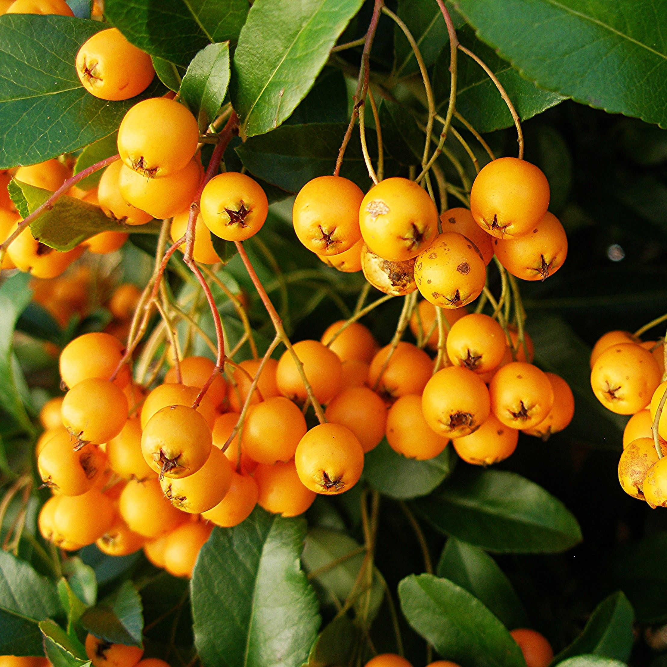 Pyracantha Golden Charmer - Buissont ardent