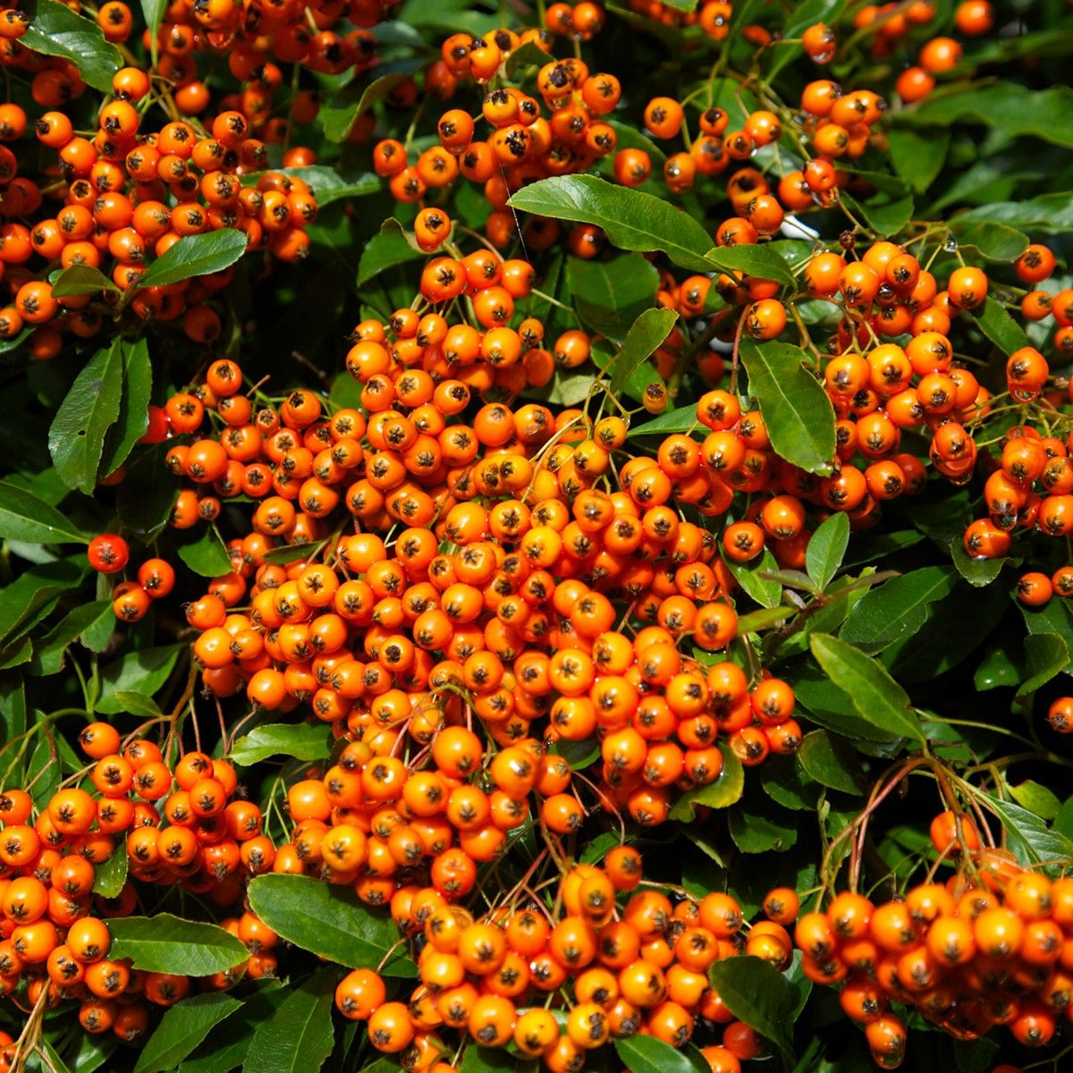 Pyracantha Orange Glow - Buisson ardent