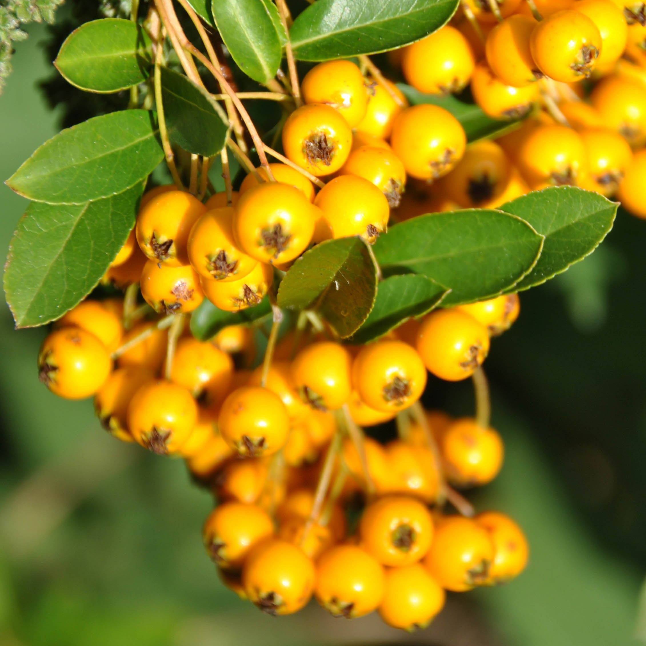 Pyracantha Soleil d'or - Buisson ardent