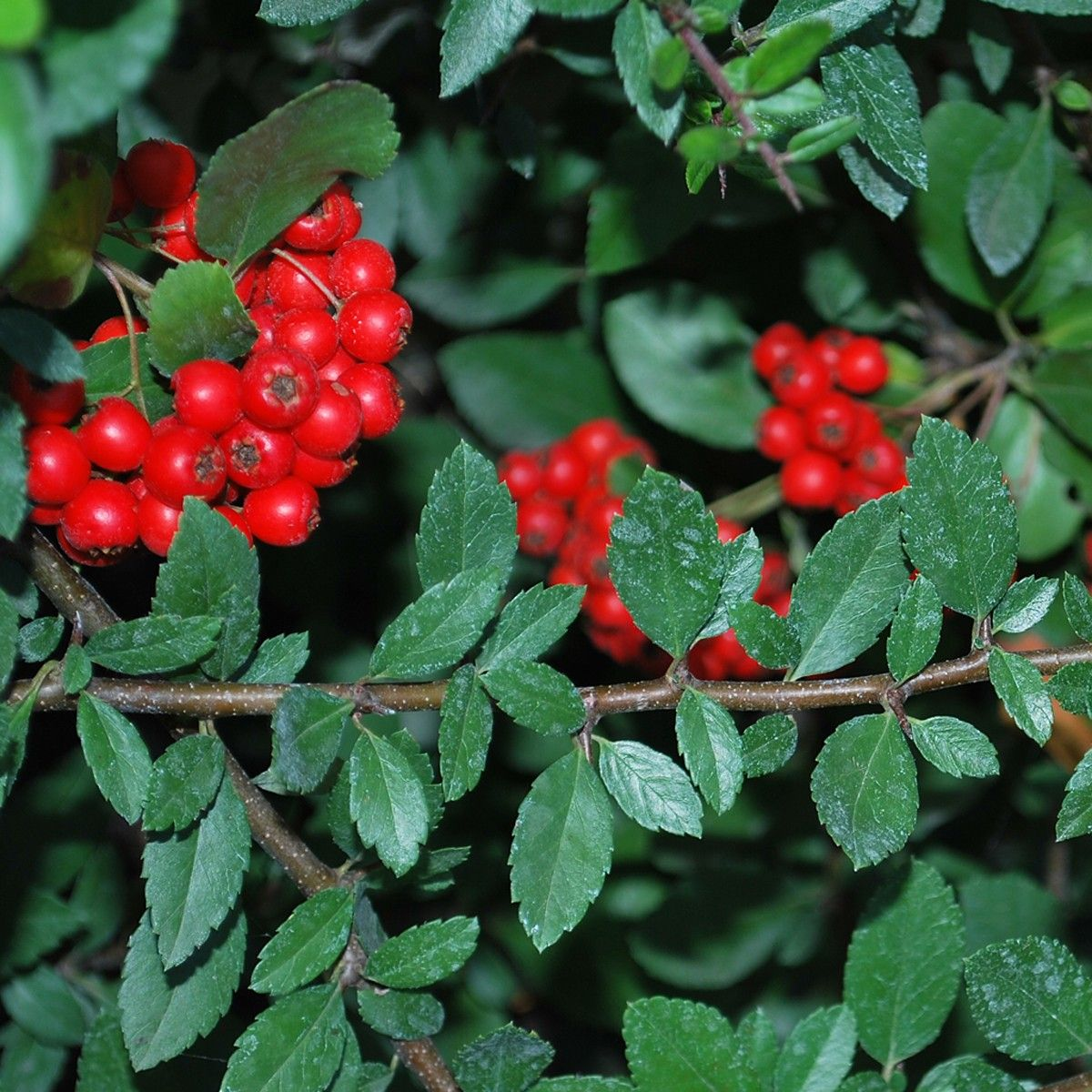 Pyracantha coccinea red column - Buisson ardent red column