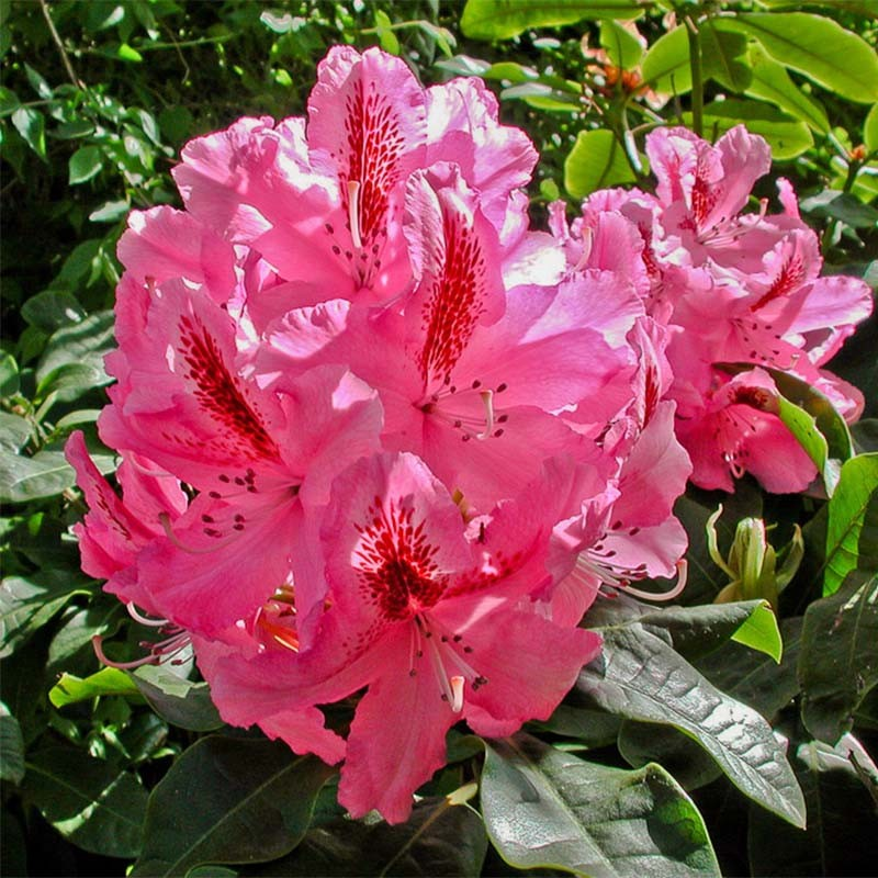 Rhododendron Inkarho Furnivall's Daughter