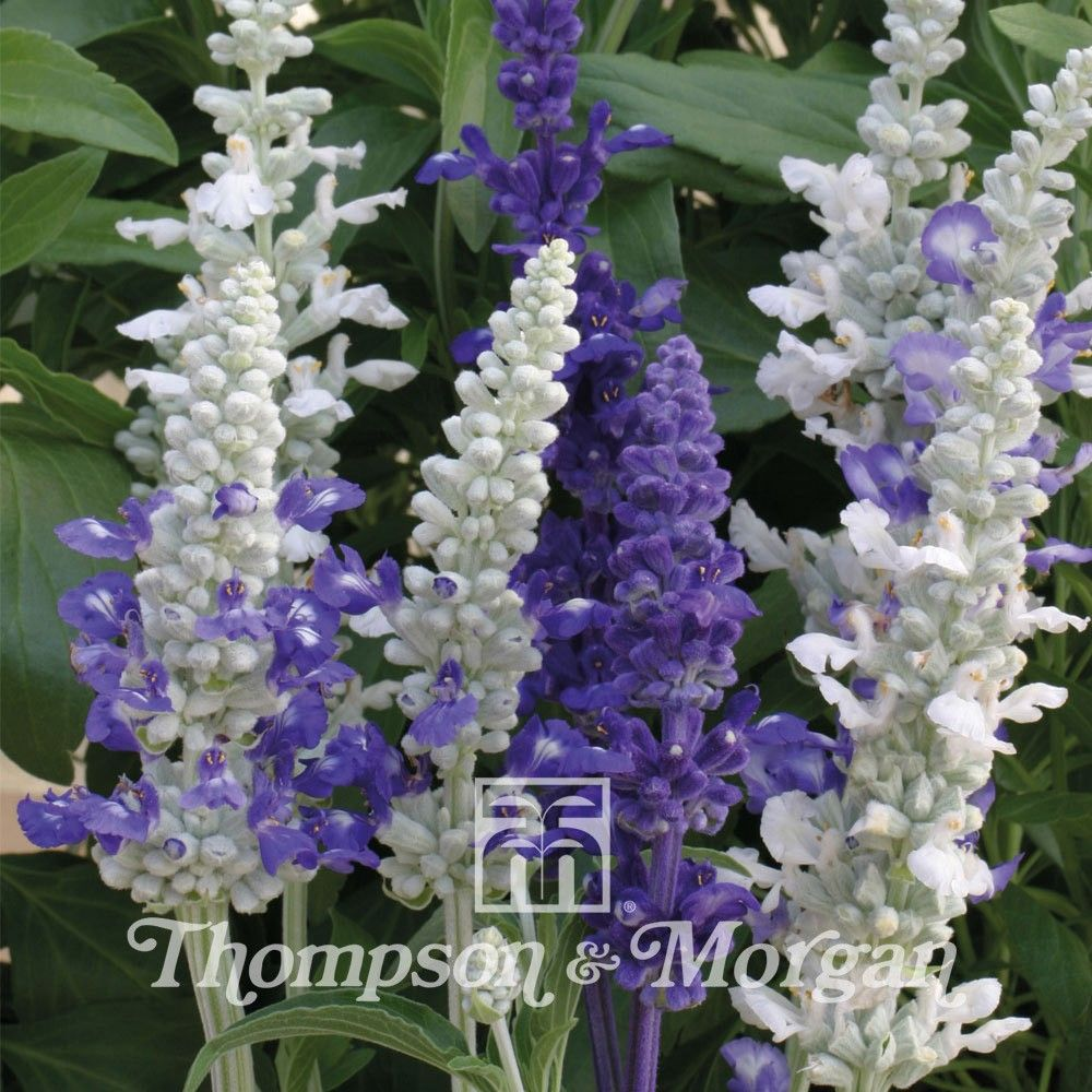 Salvia Farinacea Seascape Mixed