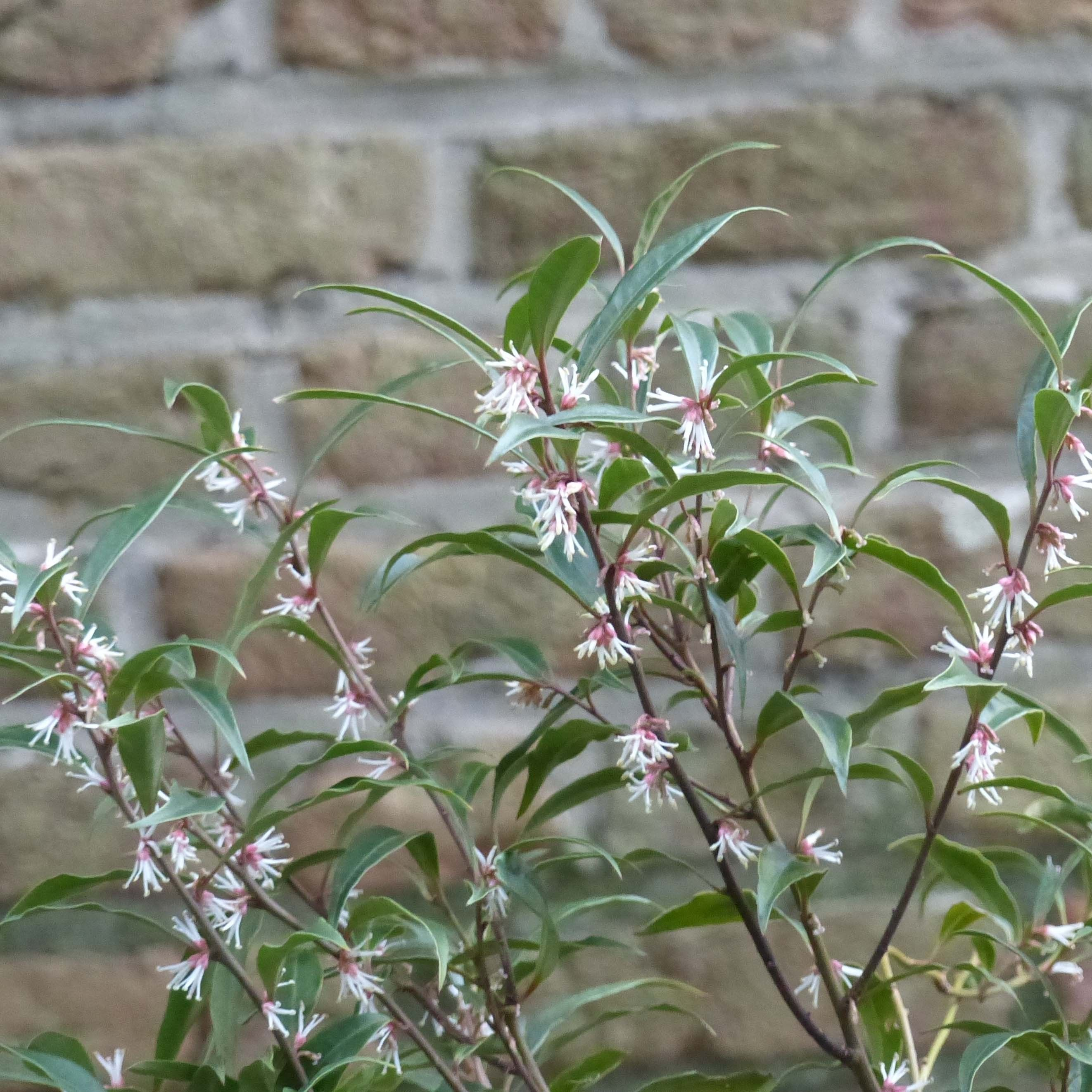 Sarcococca hookeriana Purple Stem