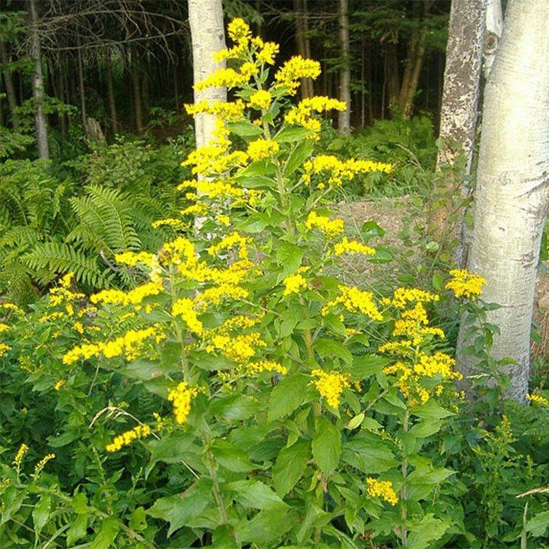 Solidago rugosa - Verge d'or rugueuse