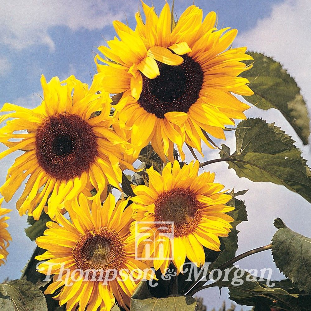 Tournesol Russian Giant