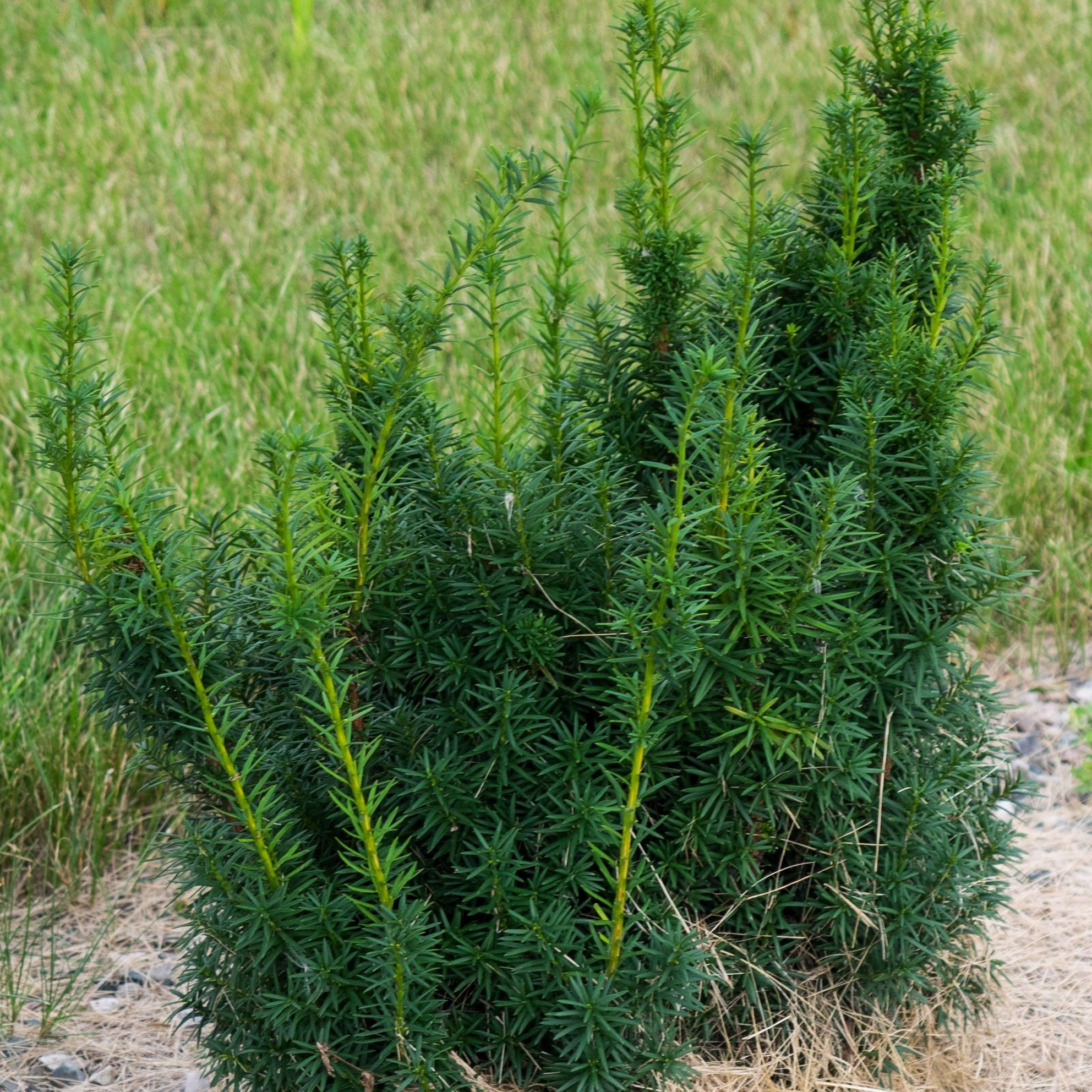 Taxus x media Hicksii - If hybride