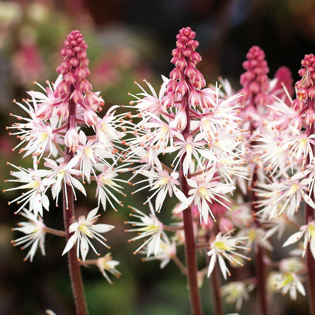 Tiarelle - Tiarella Morning Star