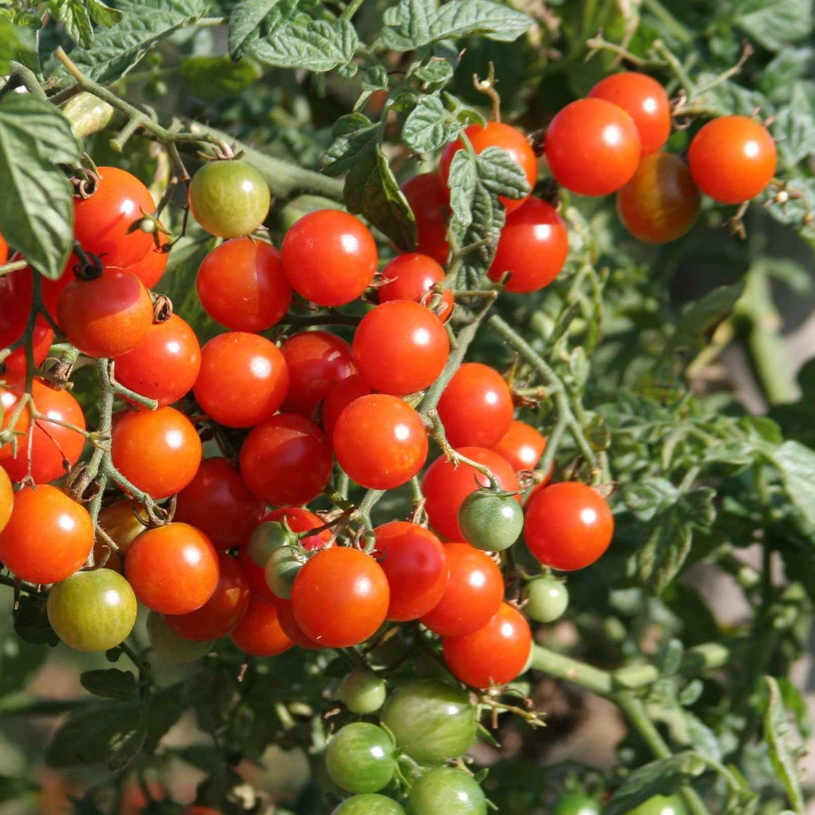 Tomate Sweetbaby - Tomate Cerise